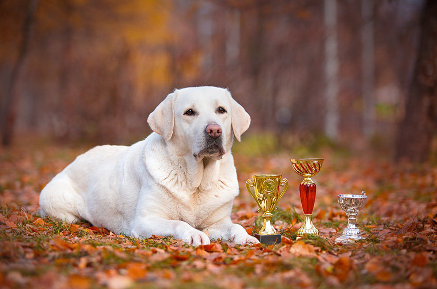 Собака породы лабрадор ретривер отличается высокой привязанностью к человеку и трудолюбием.