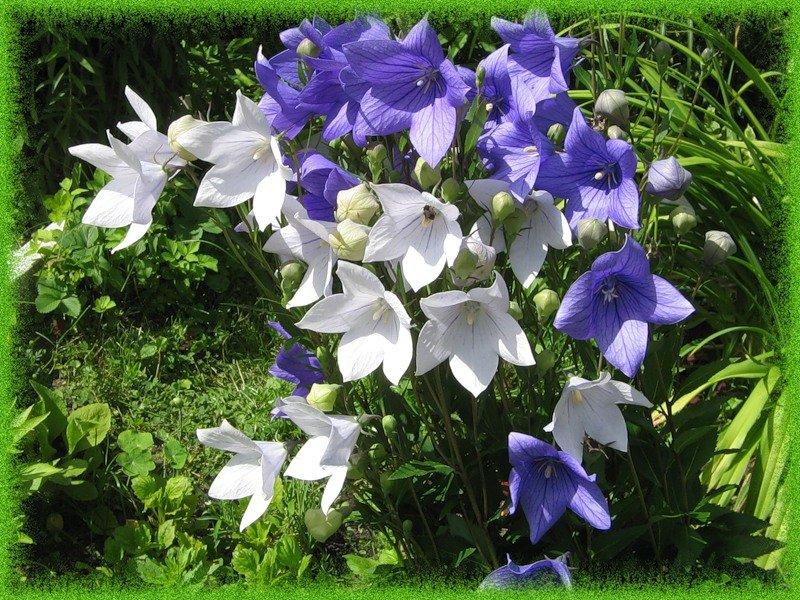 Пермь, цветы колокольчики в спб