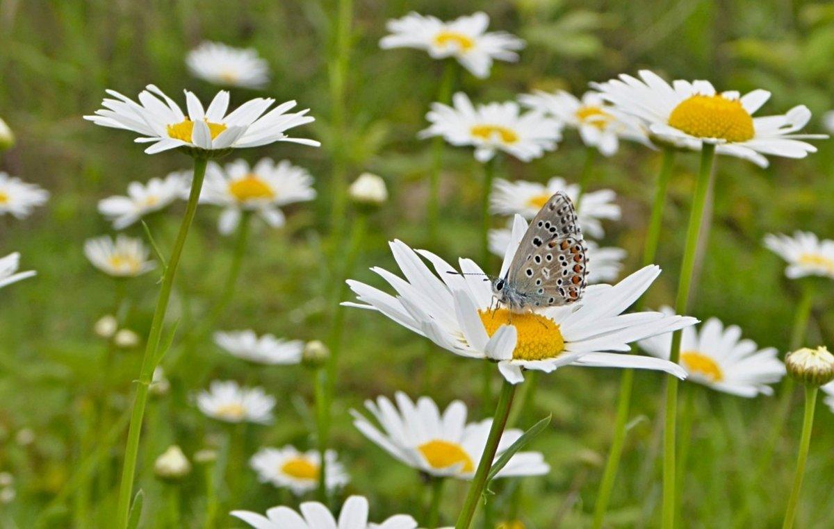 Картинка поле с ромашками и бабочками, заводами открытки цветами