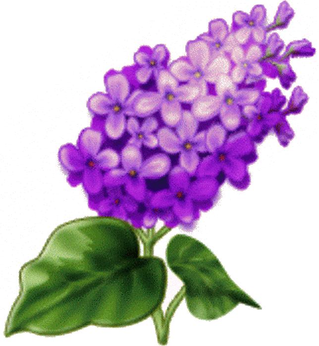 Цветы сирени картинки для детей, картинки белом фоне
