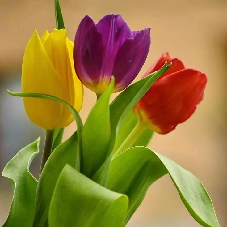 Открытки тюльпаны для подружки