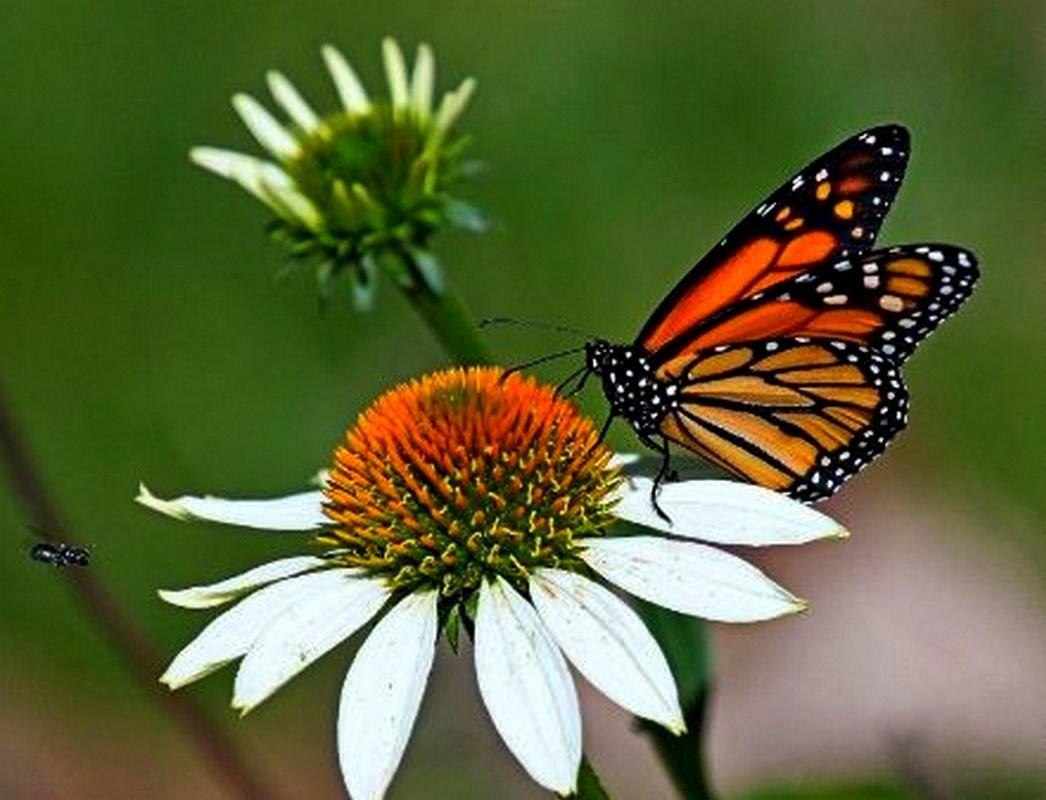 Картинки бабочки на ромашке