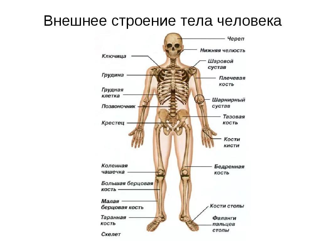 Анатомия человека с картинками и надписями