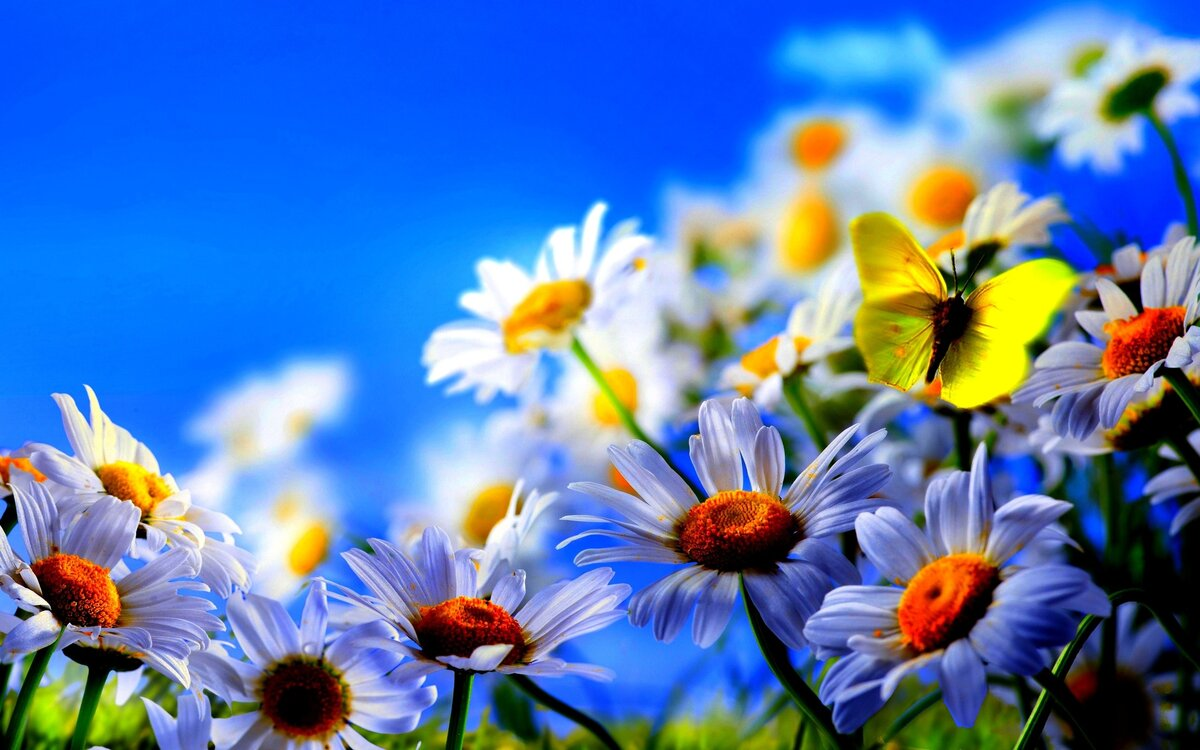 Лены, картинки ромашек красивые