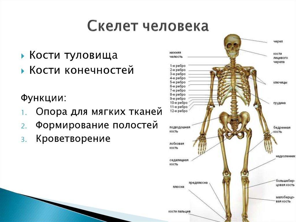 всю скелет и его отделы в картинках массажную терапию