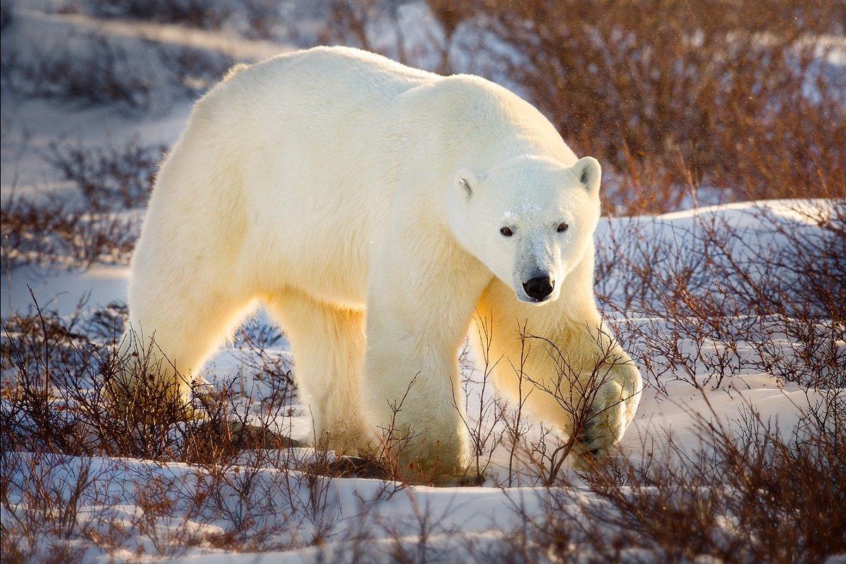 Картинки белые медведи, забудь про
