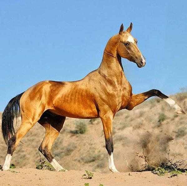 Картинка ахалтекинских лошадей