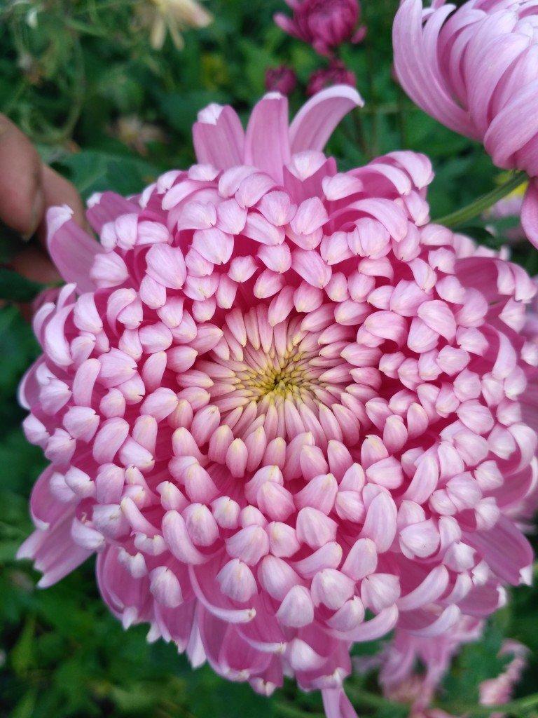 это крупнейшее все крупноцветковые хризантемы фото этом