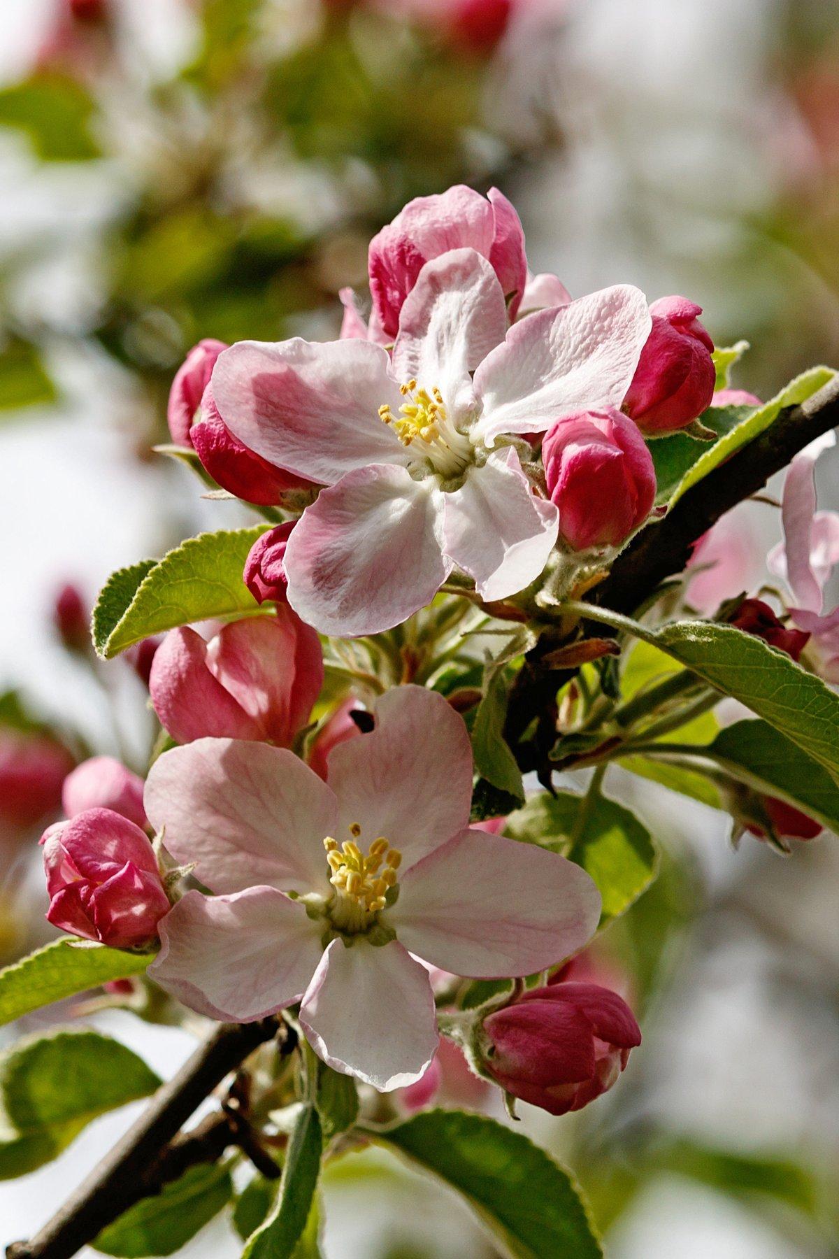 Открытки, открытки с яблоневым цветом