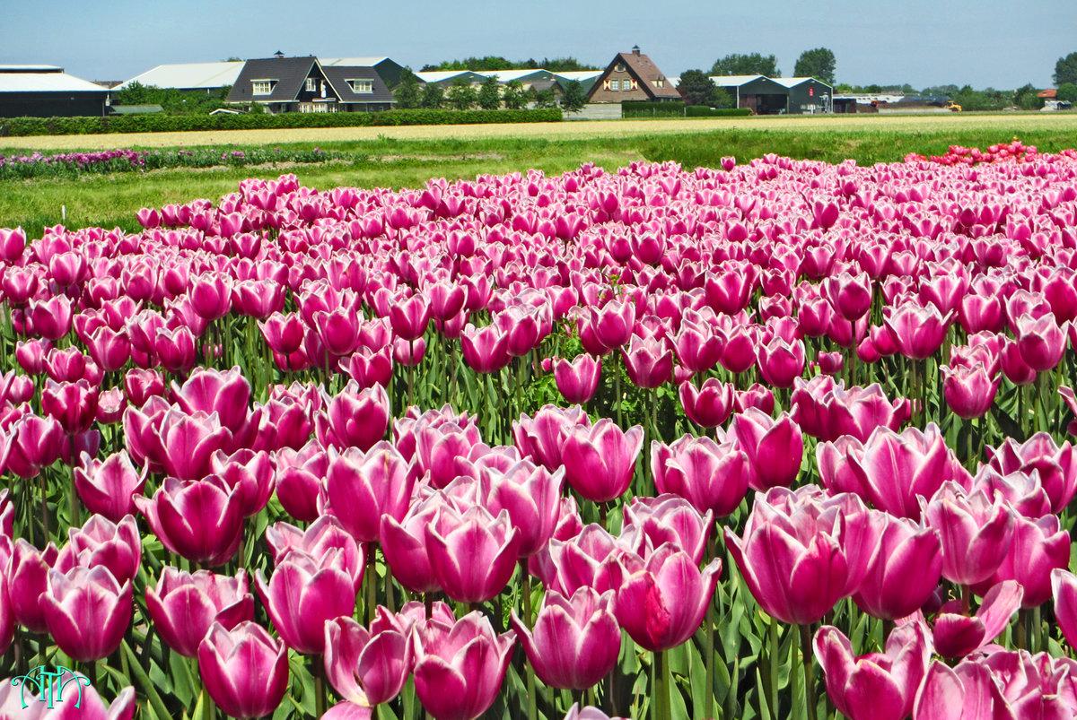 фото голландских тюльпанов решил отлить