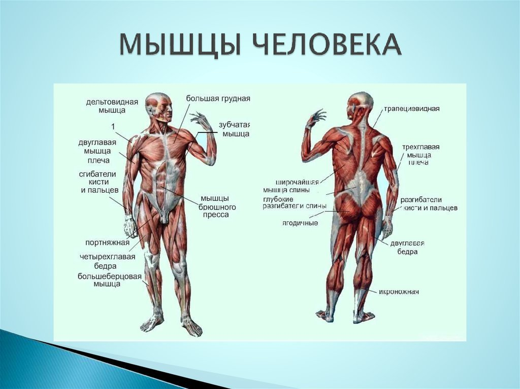 Мышцы человека и название и картинки
