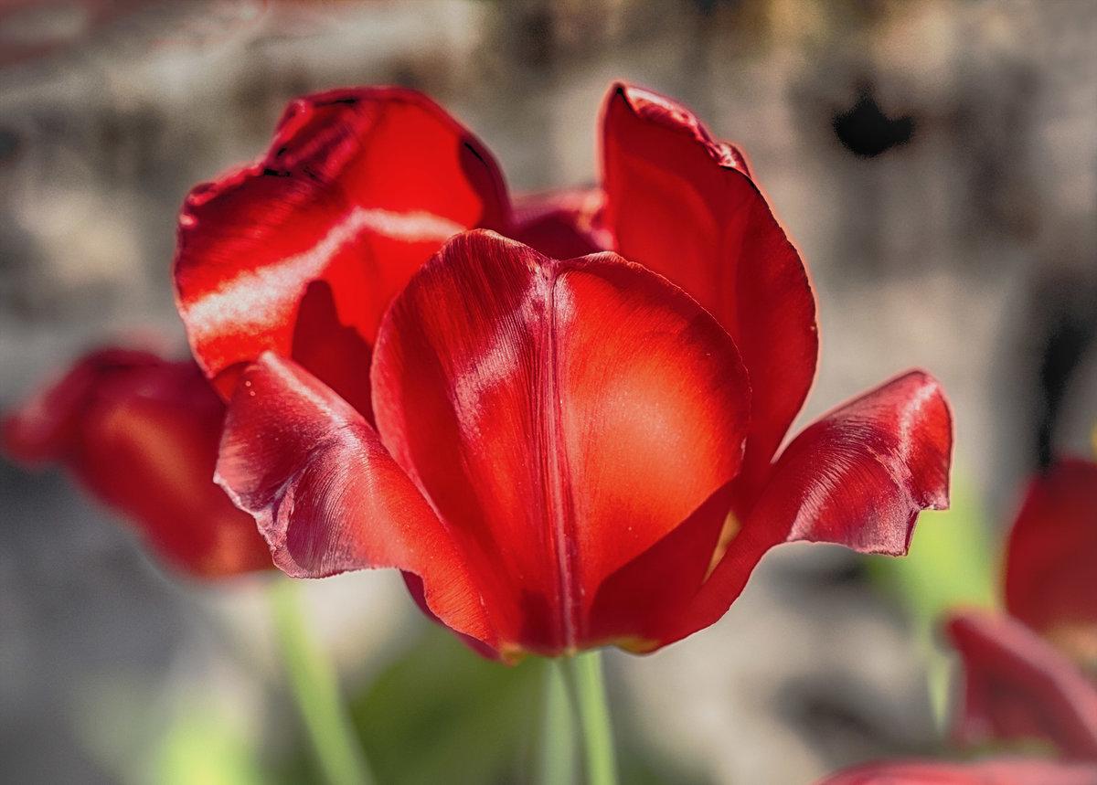 тюльпаны увядшие фото словам бойца