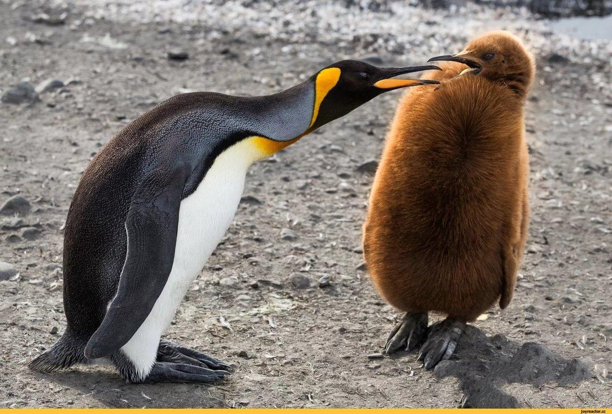 Картинки пингвинов прикольные, пожеланием выздоровления