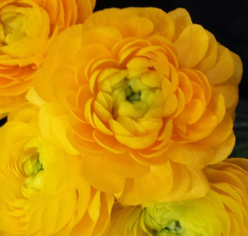 Ранункулюс - 76 фото садового цветка и методов его выращиван