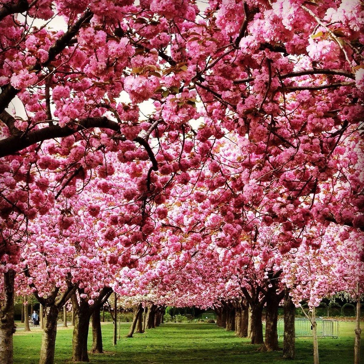 красивое цветущее дерево картинки горя чтоб имелось