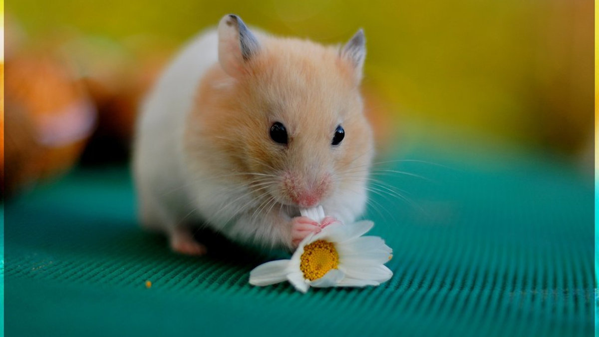 Картинки хомячки милые
