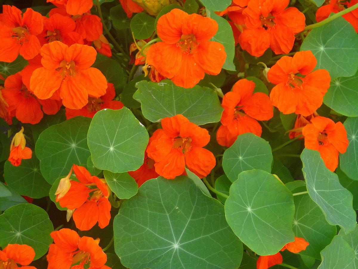 Цветы картинки настурция