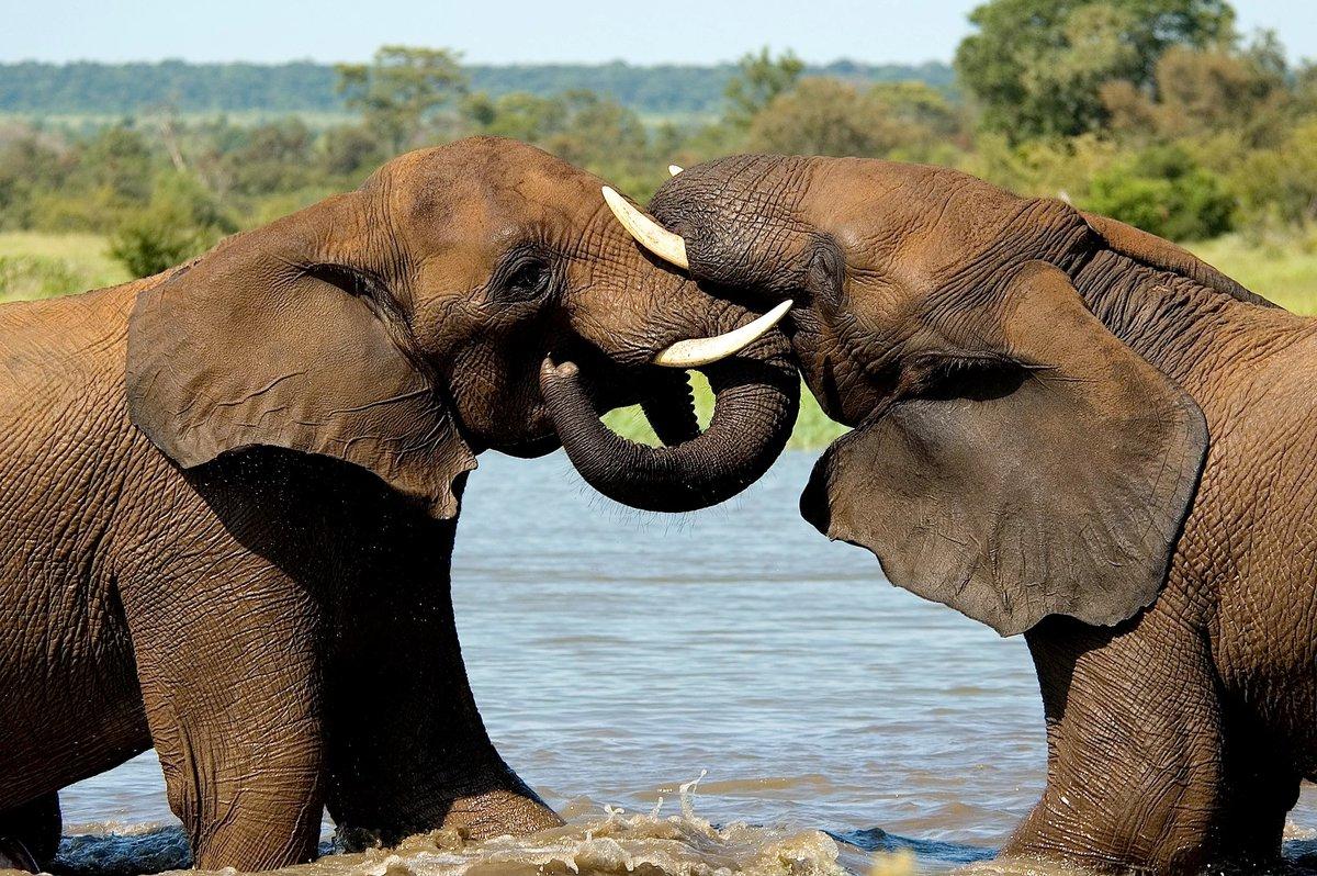 слоны и пантеры картинки миддлтон считает