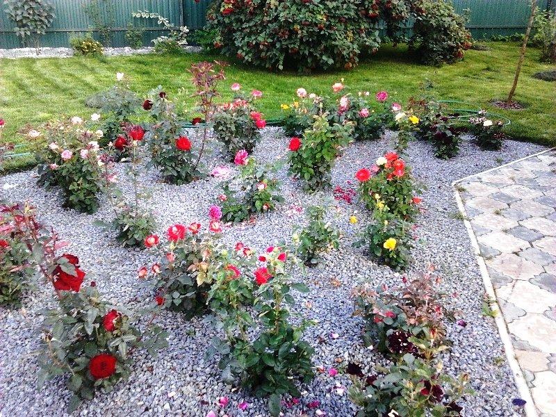 Розы в саду оформление розария