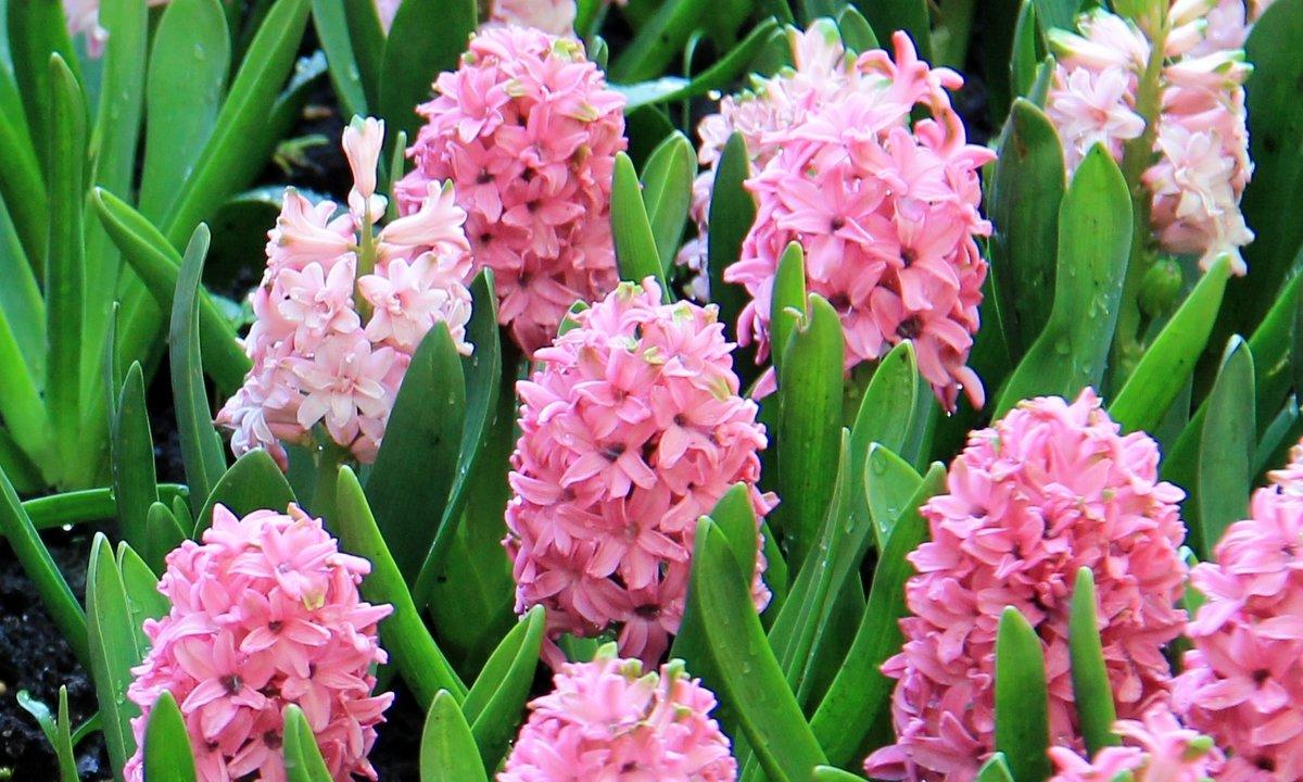 картинка гиацинт ядовитое растение большинства