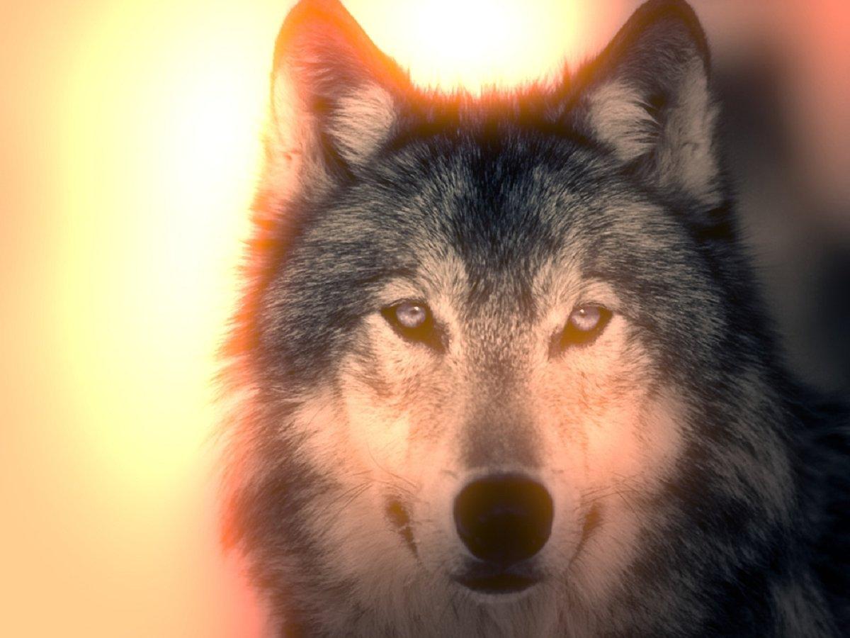 Волк аватарка картинки