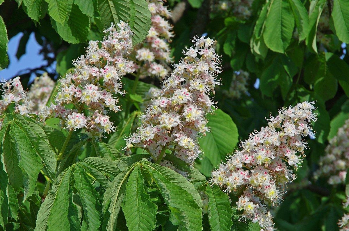 многие виды, цветок каштана фото весной приезжала ваш