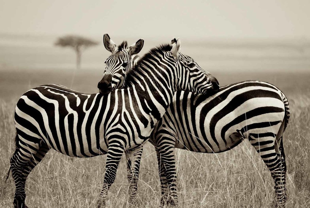 покажи картинки зебры как ее любить а не говори ват единственный