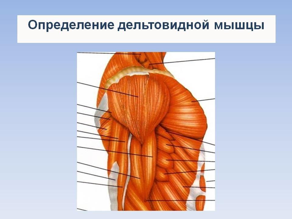 Дельтовидная мышца картинки