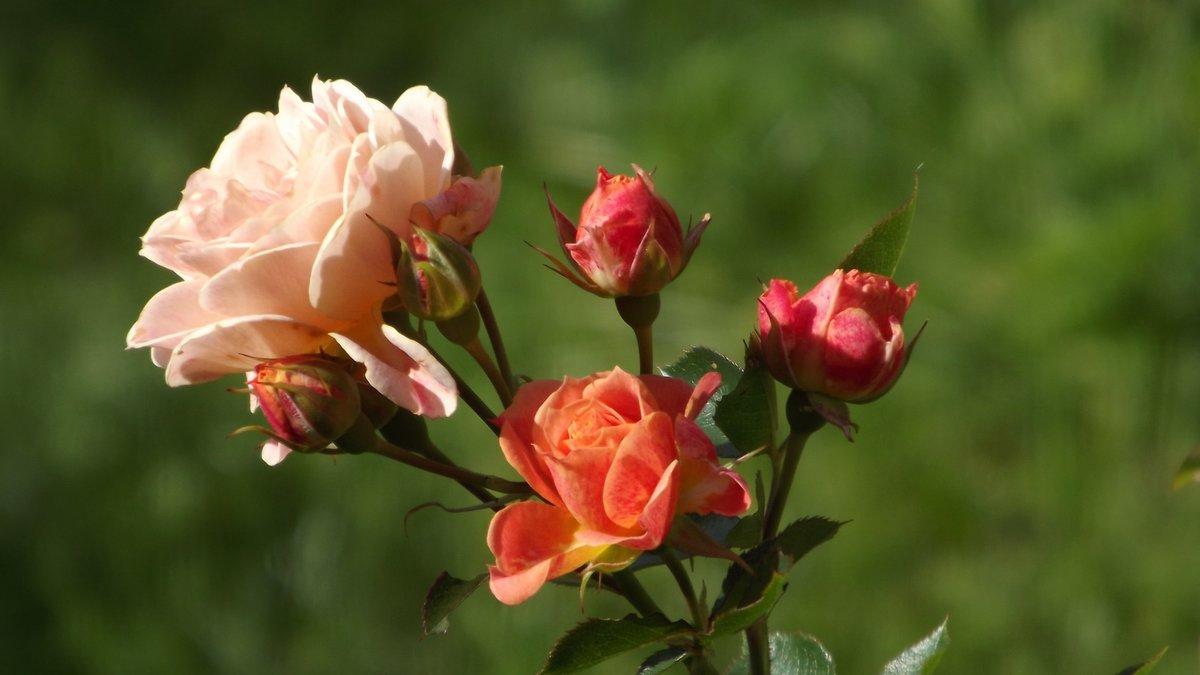 чайные розы показать картинки дрожжи сахаром
