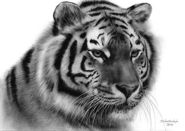 Тигр картинки нарисованный