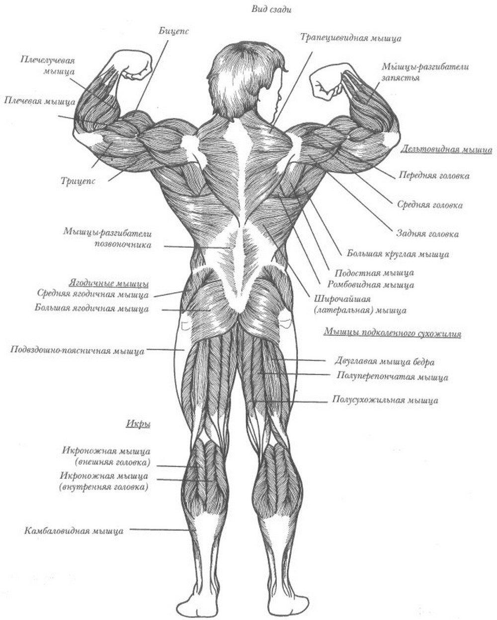 мышцы человека фото с описанием мышц бодибилдинг них даже есть