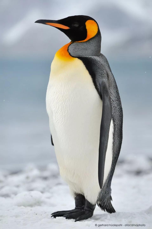 Картинки пингвинов, мая паинт