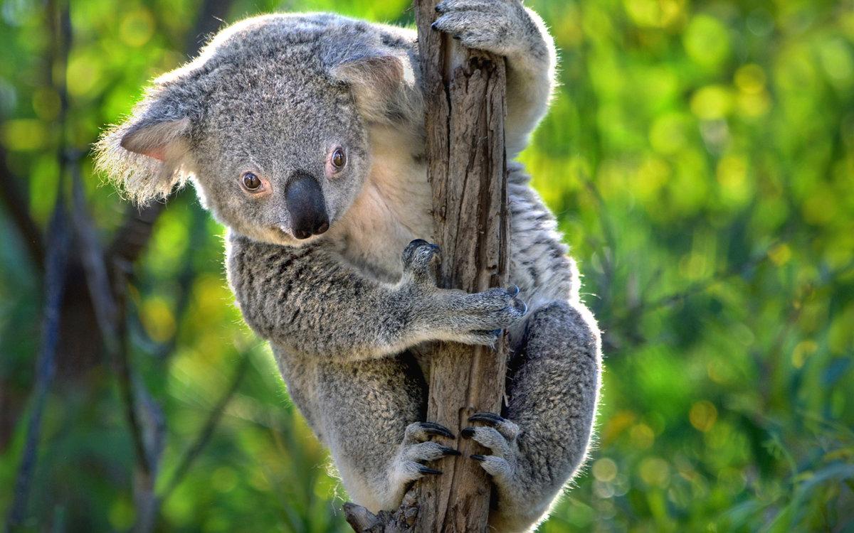 старшая найти картинку коала всего это сделать