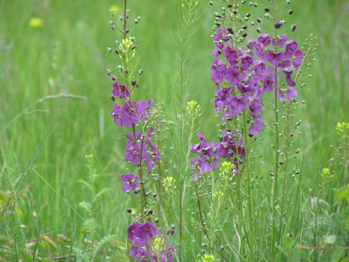 Полевые цветы средней полосы россии фото названия