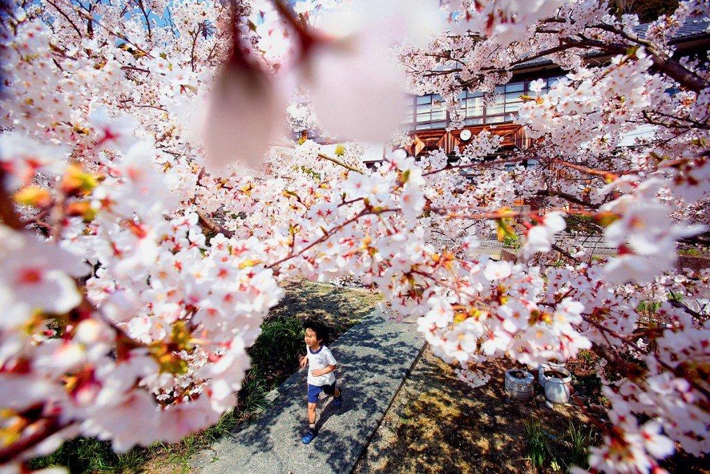 s1200 - Поездка в Японию в момент цветения сакуры