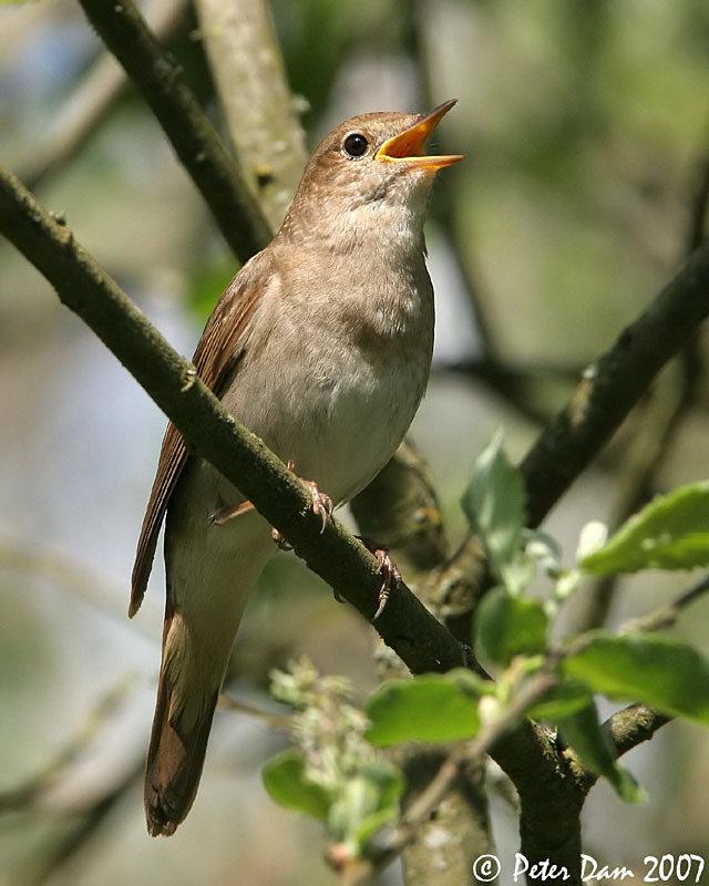 фото какие птицы поют вечером в лесу что самое забавное