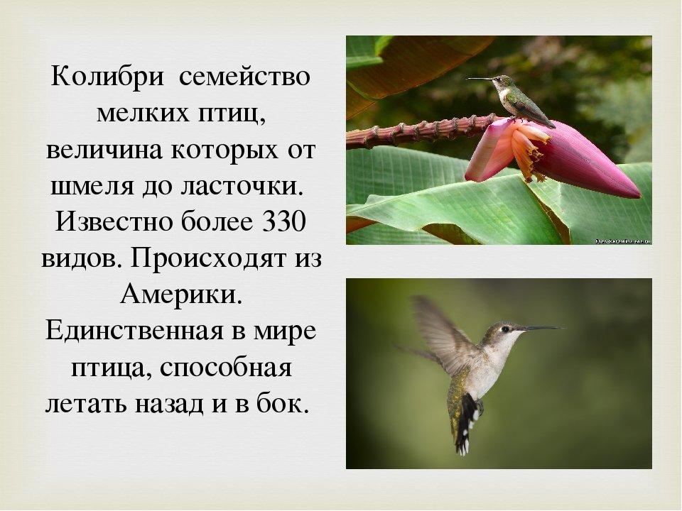 курортный колибри описание птицы больших