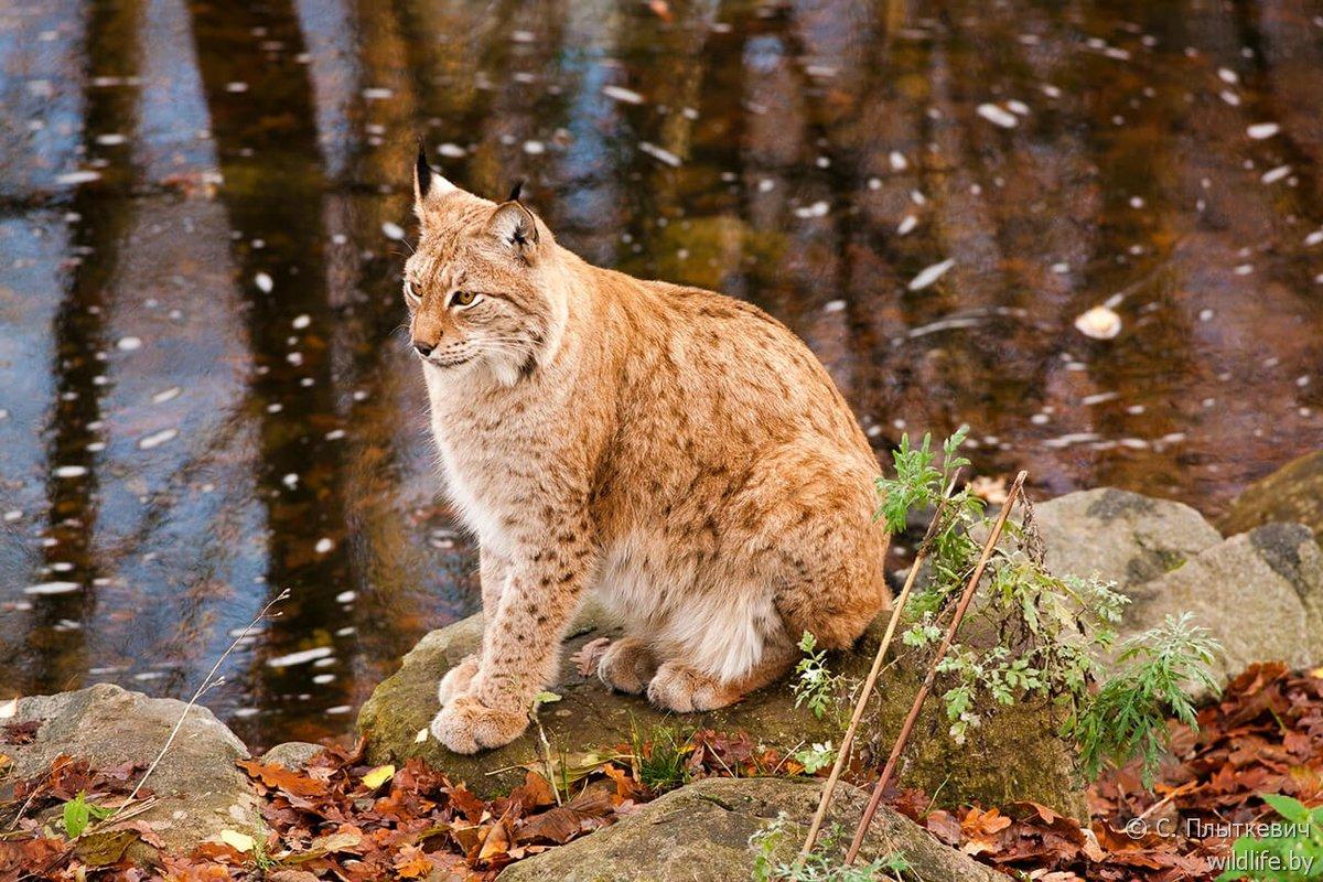 картинка животных в белоруссии может пониматься по-разному