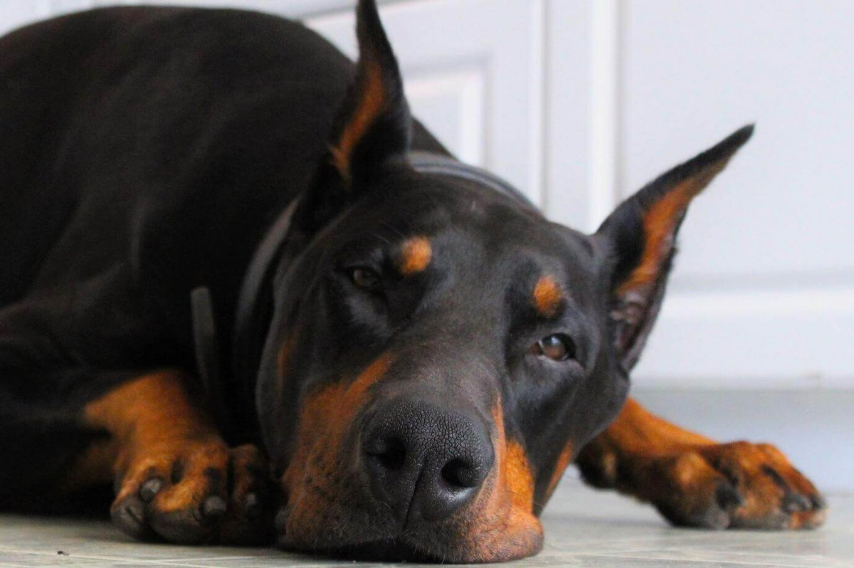 Красивые картинки собаки доберман