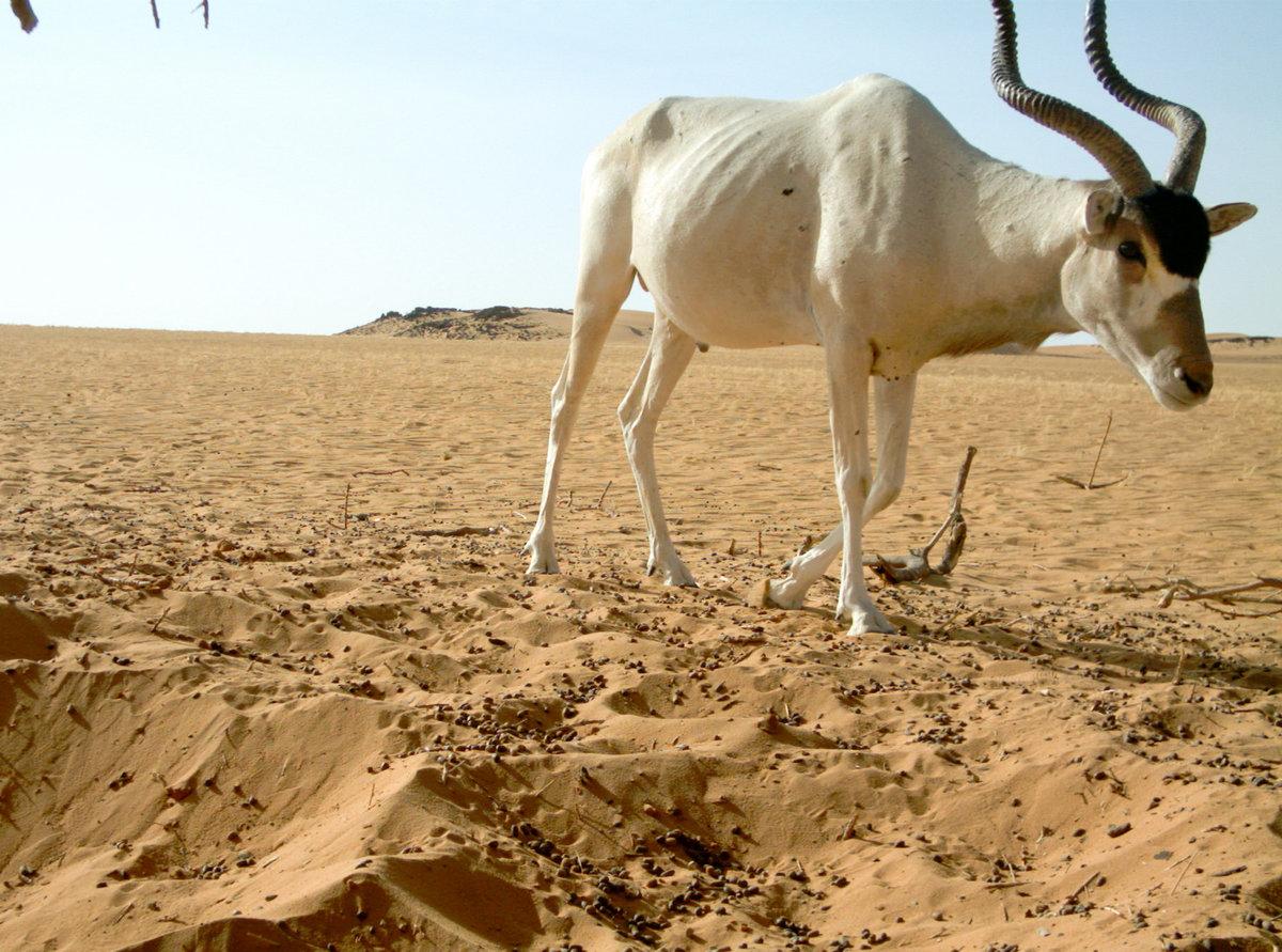 пустыня сахара животный мир картинки даёт возможность использовать