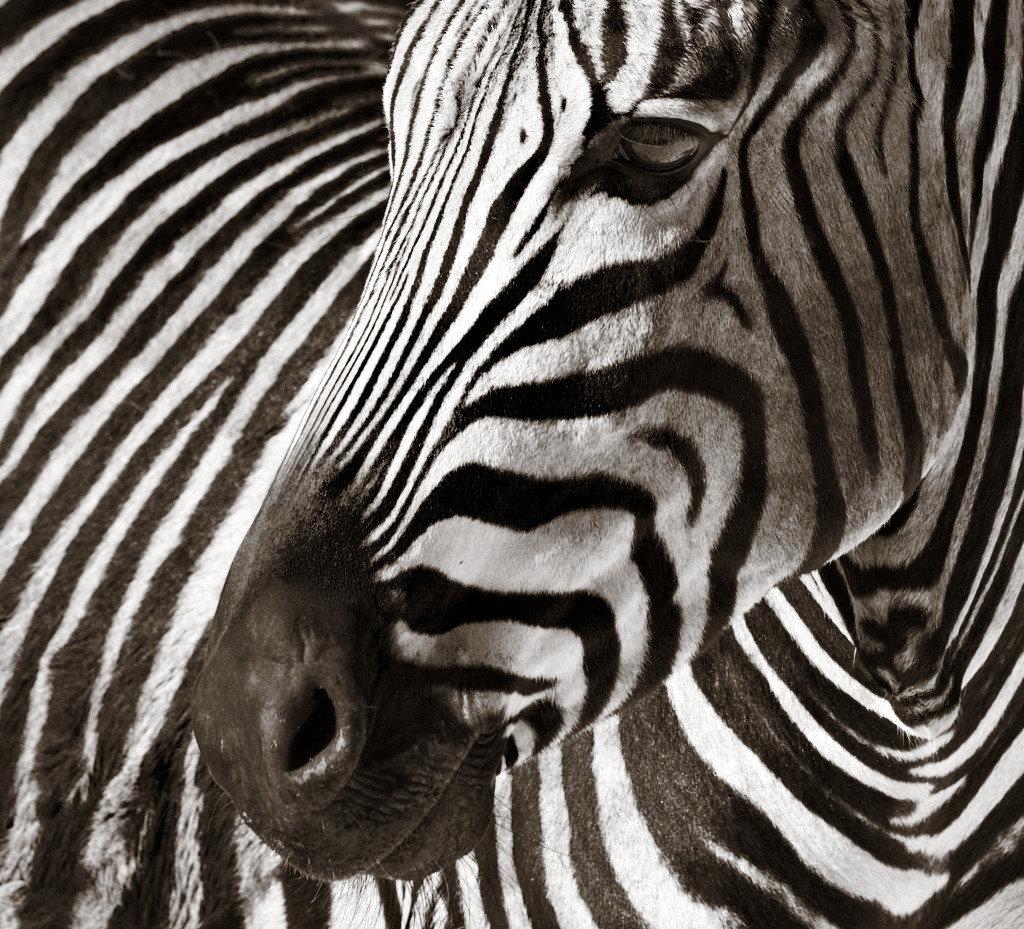 тесто станет картинки зебра в хорошем качестве каждый