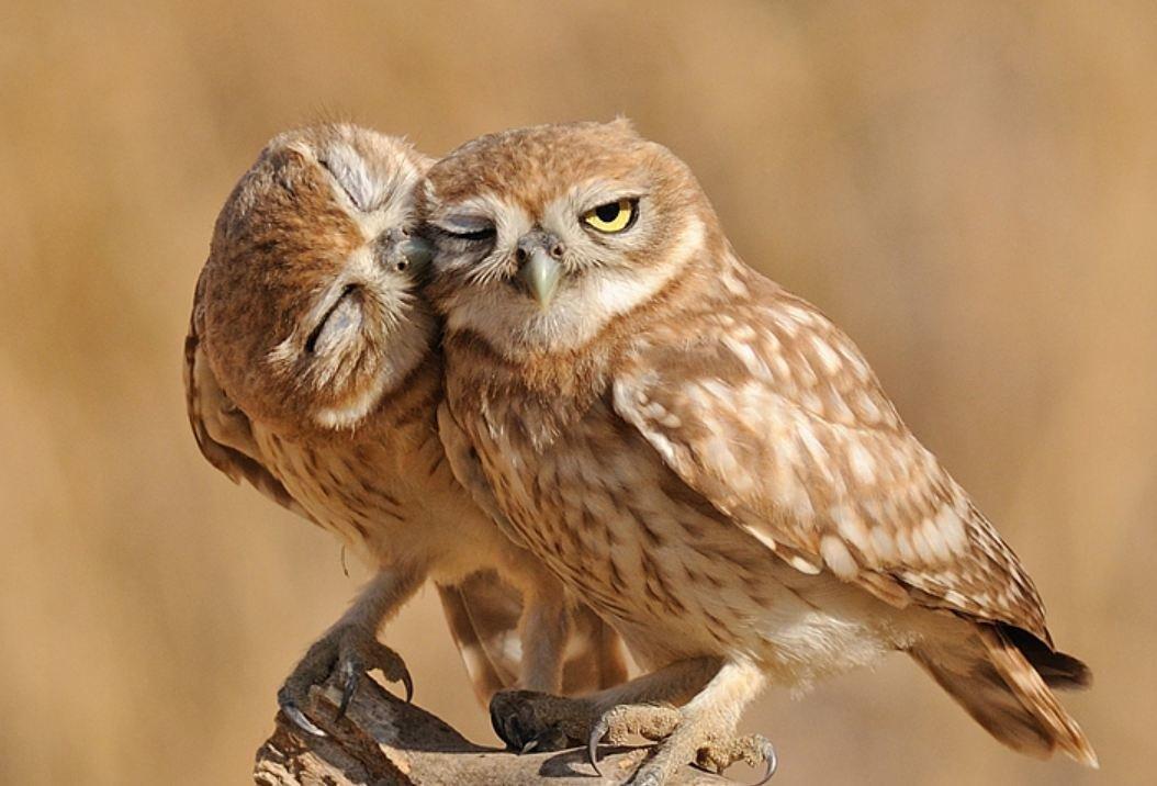 Февраля старшая, картинки две совы