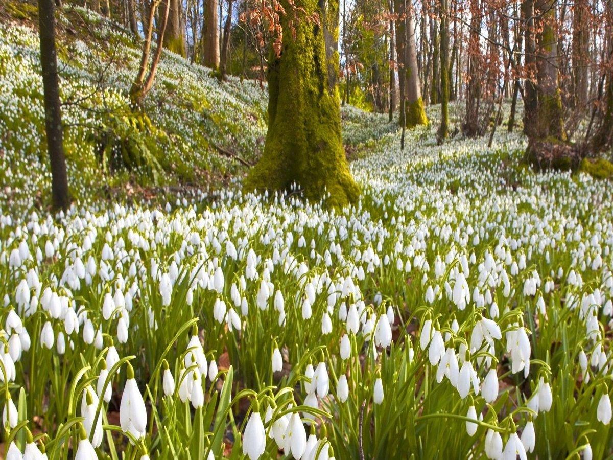 картинки весенний лес подснежники
