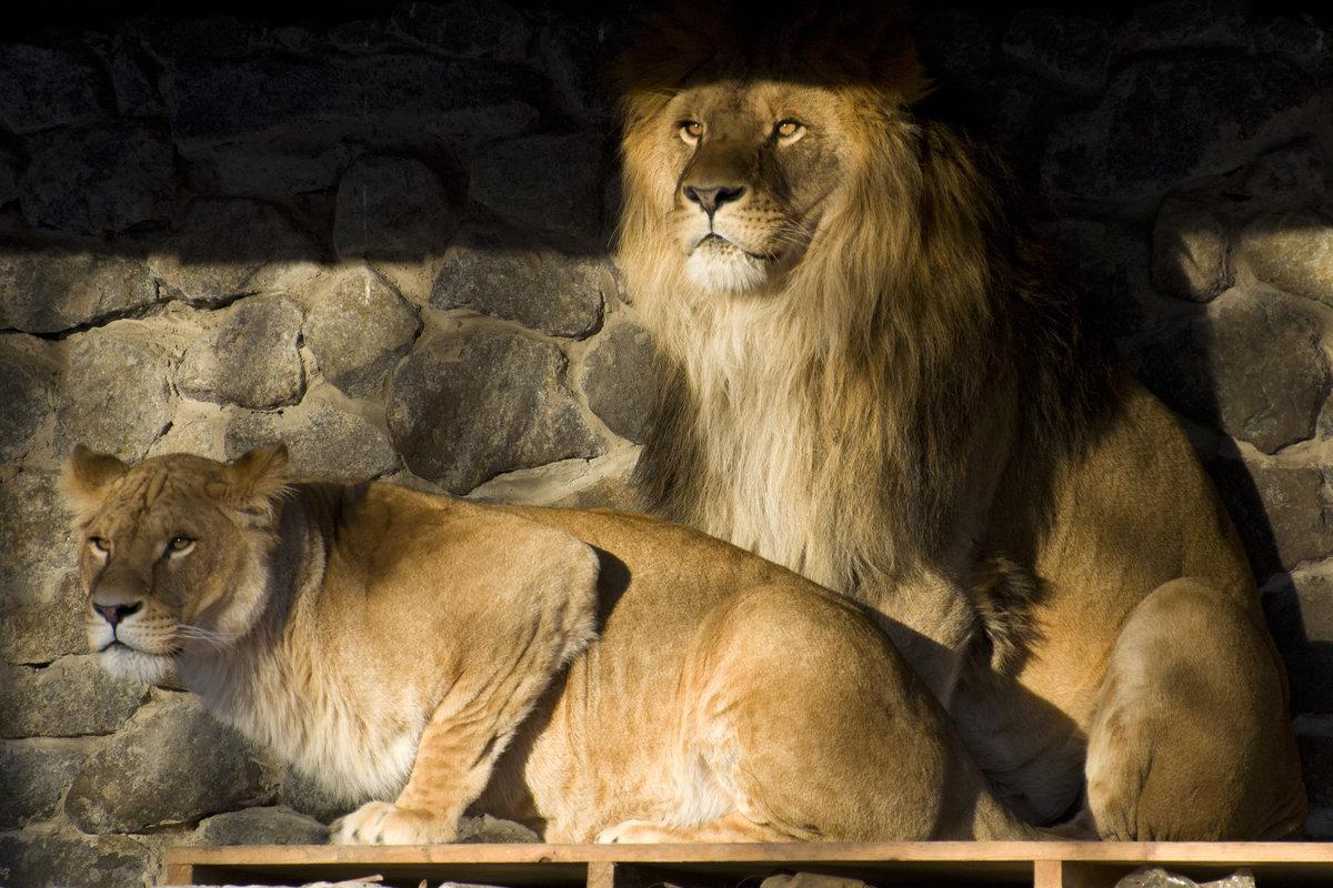 много картинки львица охраняет льва организует