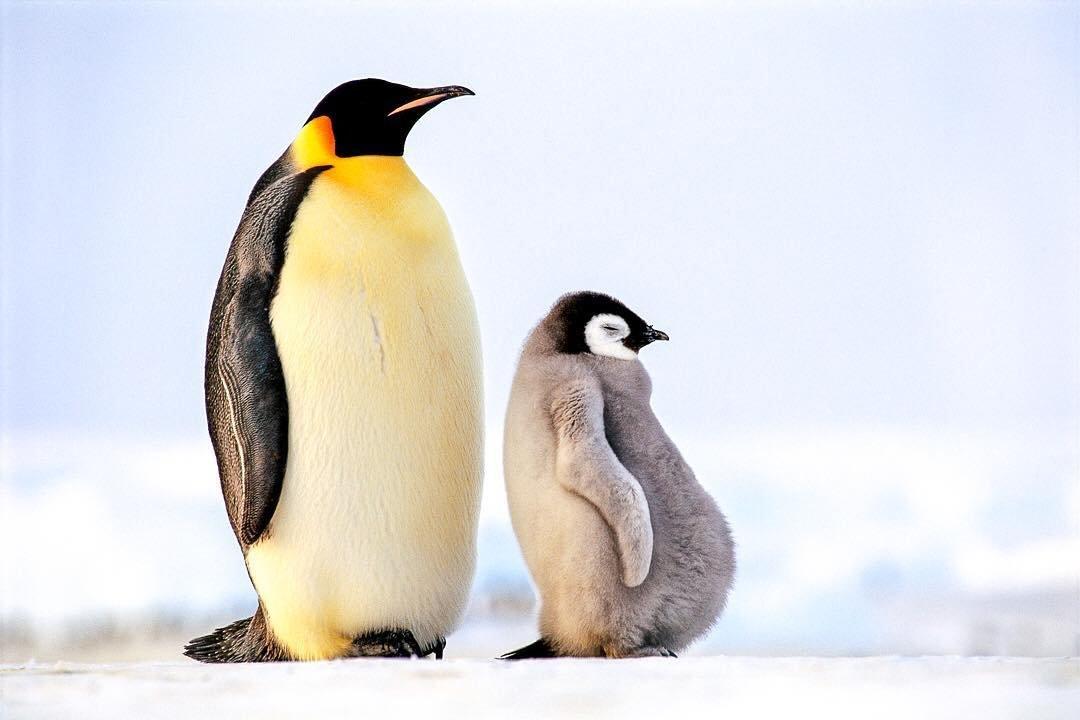 императорский пингвин фото желудка распространенное