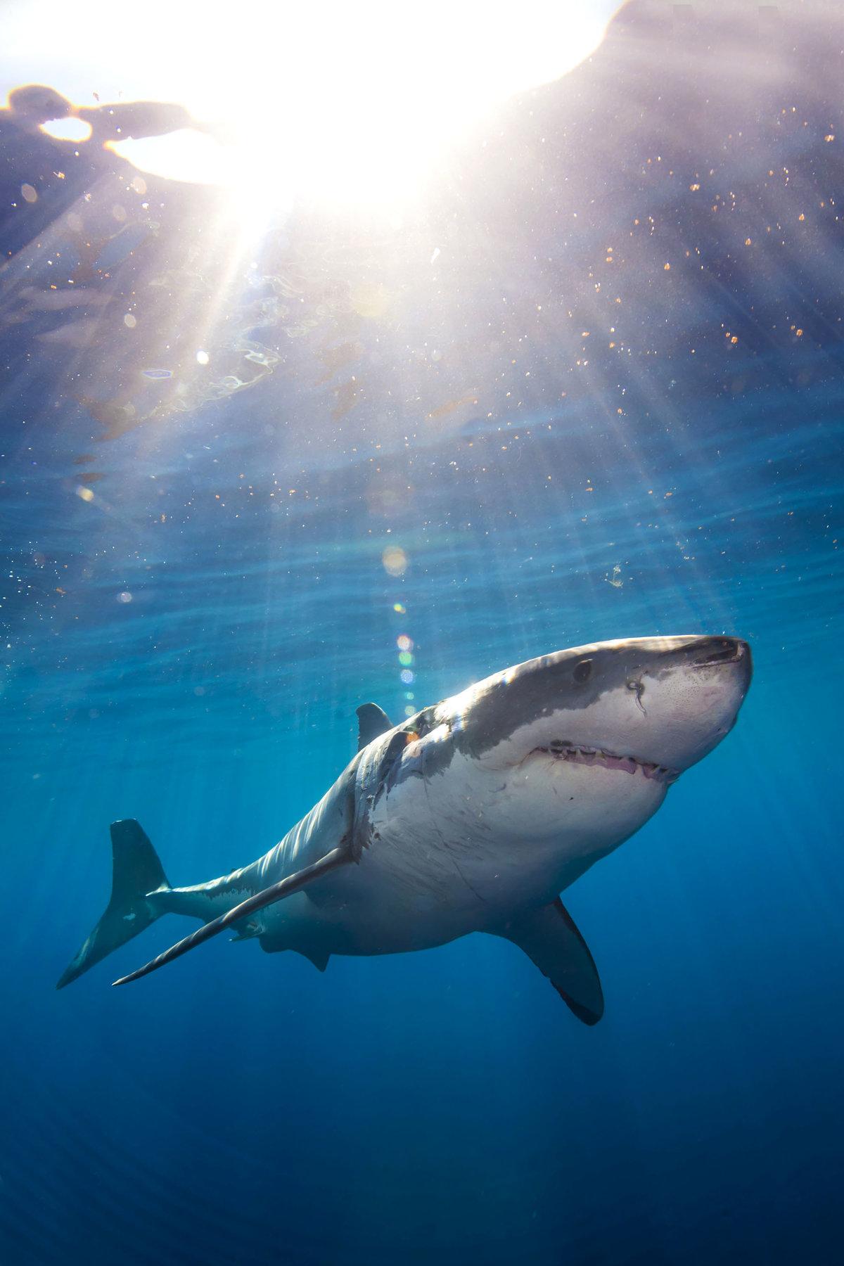 привлек картинки красивых белых акул картах дает