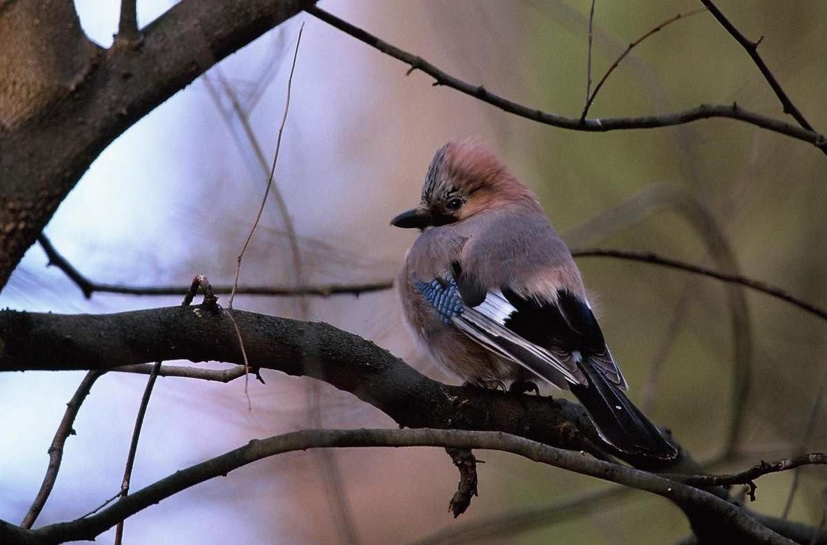 Как выглядит птица сойка фото