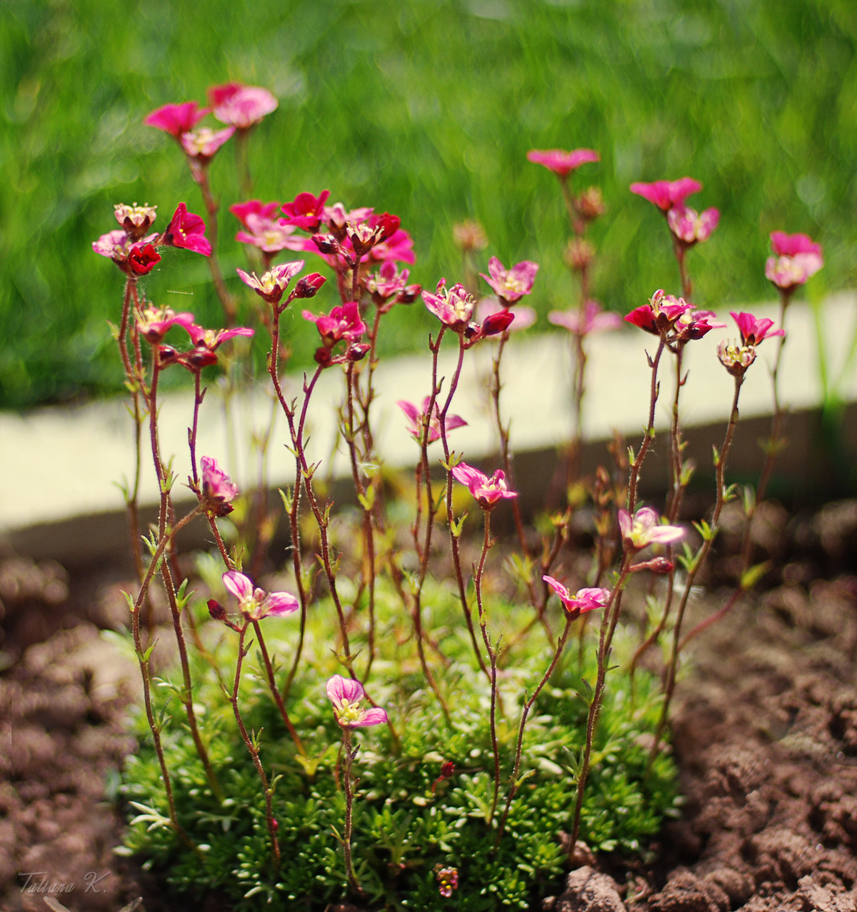 Цветок камнеломка фото