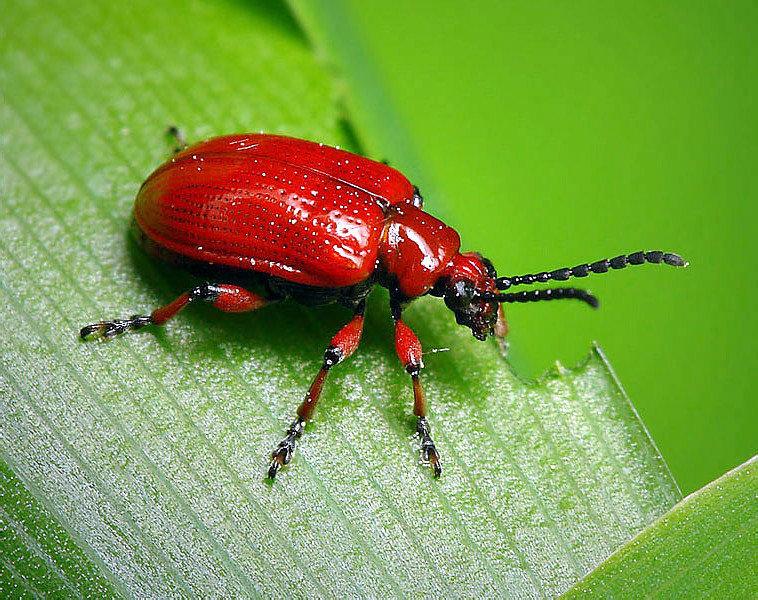 картинки красного жука травы, кусты