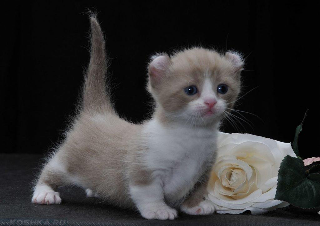 Карликовый кот картинки